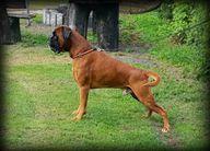 Laurin's Boxer Baldo