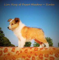 Lion King of Desert Meadow