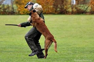 working-dog Fighter
