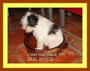Duc White Pheco Du Soleil Levant De Lastreche