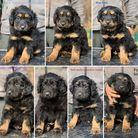 Puppies 40 days