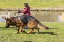 Nino van huis van sallandstreek u2013 working dog