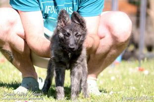 Brindle Wolf Shuri