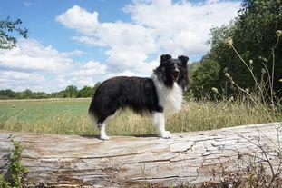 Loyal Royal from Shamrock River