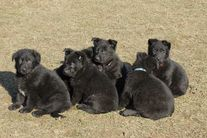 Puppies - H litter - almost 6 weeks