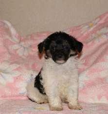 Leo-santa-dog Pp Male 2