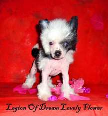 Legion Of Dream Lovely Flower