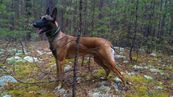 Malinois Maly Flight Stet the champione of a sleddog sport