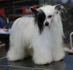 Little Dog Of Dream Handsome Caribbean
