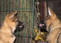 DSH-Welpen im Juli 2021 - Schäferhunde
