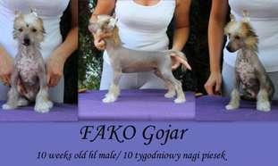 Fako Gojar