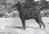 Black-dober Falko Max