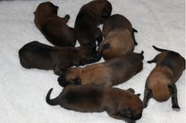 chiots Pira/Quyo 5 jours