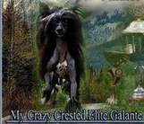 My Crazy Crested Elite Galante