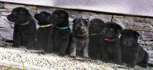 Puppies 4 weeks Irck x Devil