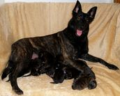 Arlette de Alphaville Bohemia with her puppies