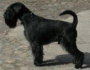 Black Camillo vom Mandelröschen