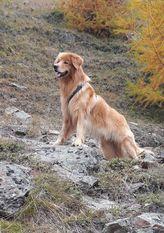 Gauner ex canis lupus