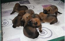 chiots Pira/Quyo 14 jours