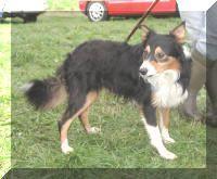 Shepherd's companion Lad