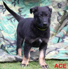 Ace von Charlie Oscar