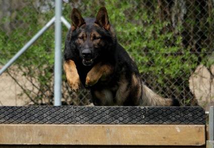Madox vom Drumlin Wolf