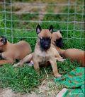 Puppy 25 days Hank & Brixis