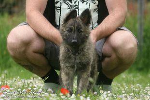 Brindle Wolf Starhawk