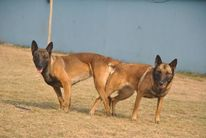 Demi of Police Malinois
