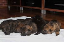 Pupppies... 2 weeks.. Gero / Vexa.. ..Kennel Mersak