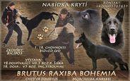 Brutus Raxiba Bohemia