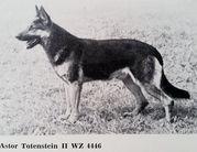 Astor vom Totenstein