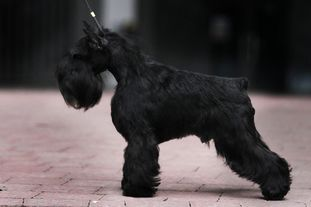 Dog Otho's Moonraker
