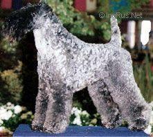 El Tukan Azul De Chapeau Terrier