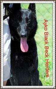 Ayko Black Beck Herders