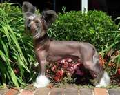 Gch. Cinondra's Gemstone Heavy Metal Thunder