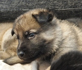Puppies, Urri z Kurimskeho haje x Fluss-Strand Judith