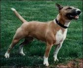 Brindle Diamond's Abygale