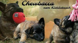 Chewbacca vom Kiebitzbusch