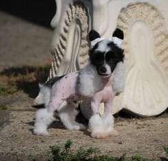 Little Dog Of Dream Hugo Boss
