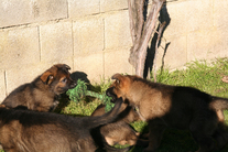 Puppys 6 Weeks old Puma x Ares