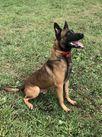 Thor van Bolwerk Honden Stronghold K9, LLC