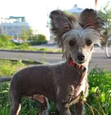 Dogs Of Dark Benelli Leoncina