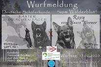 Roxy vom Hause Werner / Baxter Drachenjäger