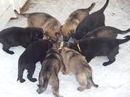 Urri x Judith, puppies 5 weeks
