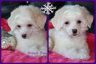 Brave Biscuit From Midajh,s Dream