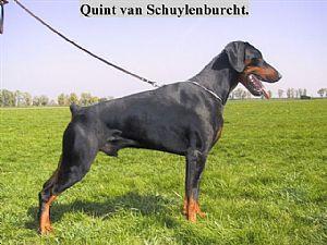 Quint-castor van Schuylenburcht