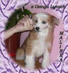 Malinka Z Gangu Lysych