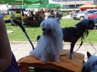 Siciliana Cantabile Dogs