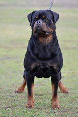 Lucky of Kinders Royal Rott